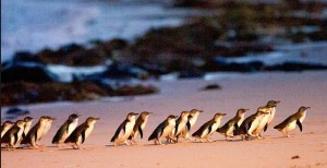 Melbourne things to do - Penguin Parade