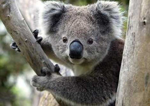 Phillip Island - Wildlife Tour - koala